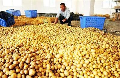 """贵州毕节马铃薯产业:从""""救命薯""""到""""致富薯"""""""